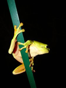 1520250-3-green-tree-frog-hanging-on
