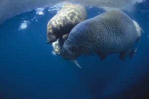 Atlantic walruses (Odobenus rosmarus rosmarus) swimming underwater.