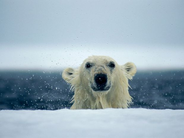 polar-bear-wet_667_990x742